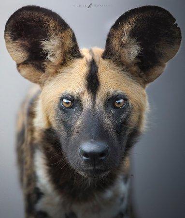 Mkomazi Game Reserve, Tanzanija: wild dog