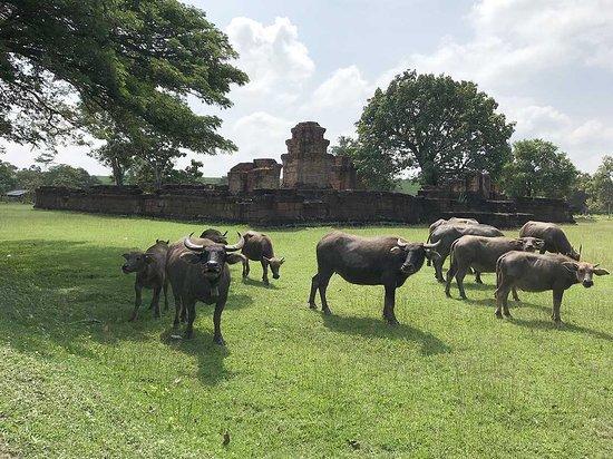 Tempelruine Prasat Nong Hong in Non Din Daeng (Buri Ram), Thailand, mit Wasserbüffeln.