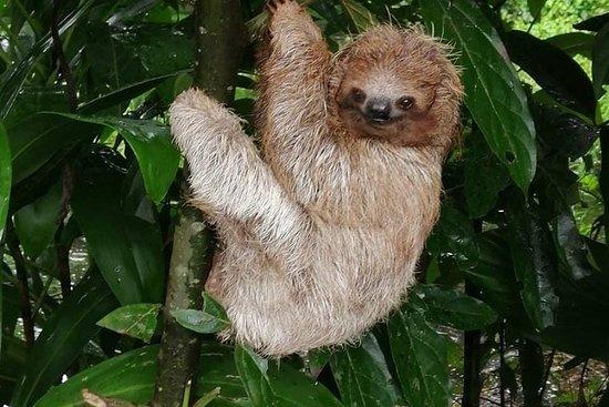 Sloths i deres naturlige habitat og...