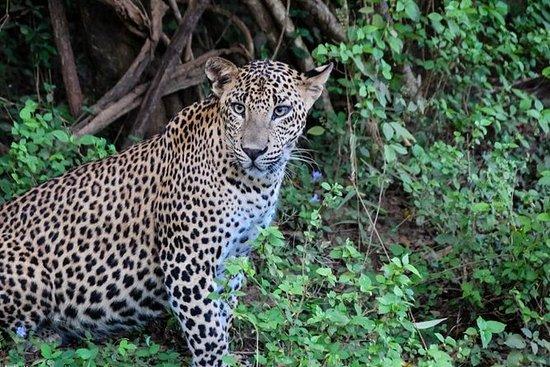 Safari til Yala nasjonalpark fra...