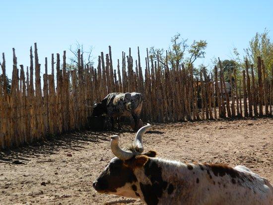 Fredonia, AZ: Longhorns