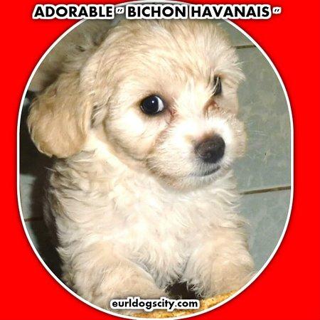 Saint-Nauphary, Франция: DOGS CITY Vente de chiots BICHON HAVANAIS