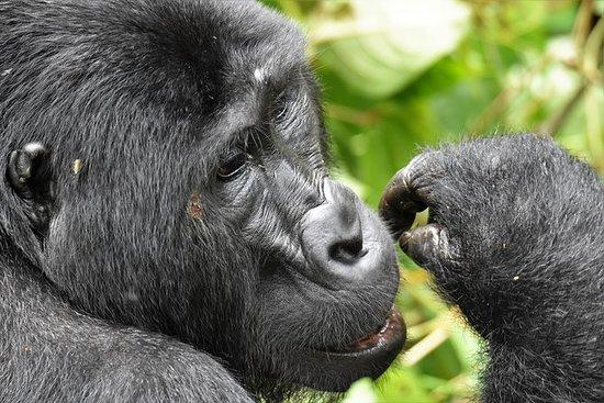 4days 3nights Mountain Gorilla...