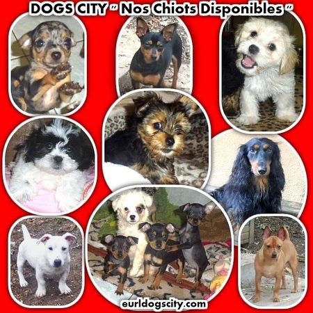 Saint-Nauphary, Франция: DOGS CITY - Vente de chiots de petites tailles - http://www.eurldogscity.com