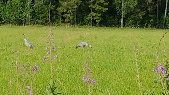 Kankaanpaa, Finland: Kurjet keväällä Mummolan pellolla.