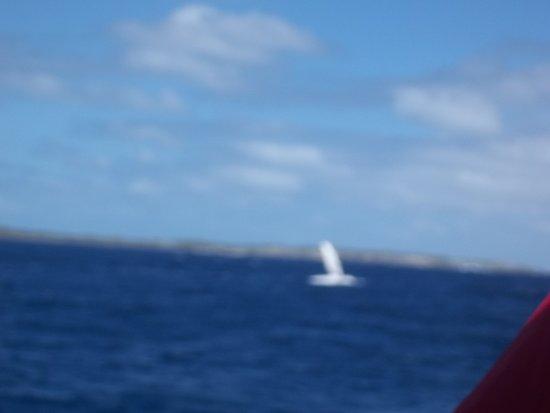 جنوب المحيط الهادئ: Baleia acenando