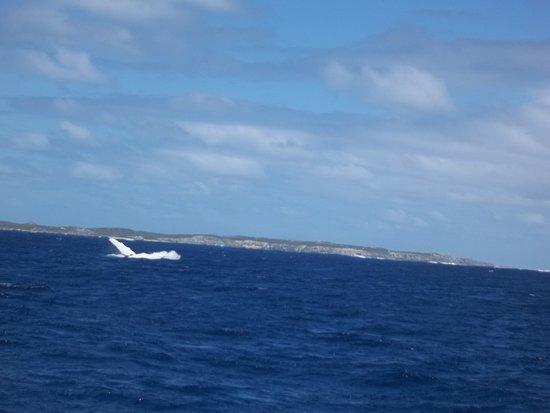 جنوب المحيط الهادئ: Baleia saltava e acenava. Belíssima!
