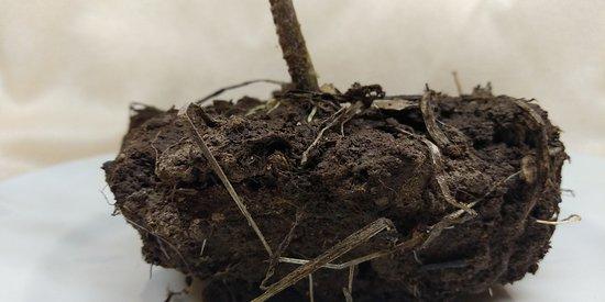 Coltivazione del Pomodoro giallo invernale su  Terreno di argilla