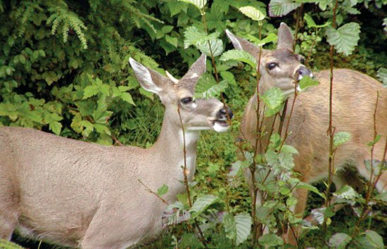 Angoon, AK: Sitka Blacktail Deer on Whaler's Cove Lodge grounds