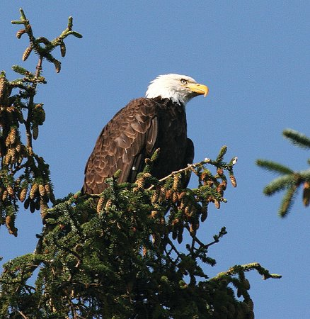 Angoon, AK: Majestic Bald Eagle eyeing the fish processing at Whaler's Cove Lodge