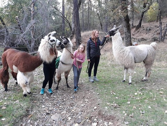 Oregon House, CA: Walking with llamas