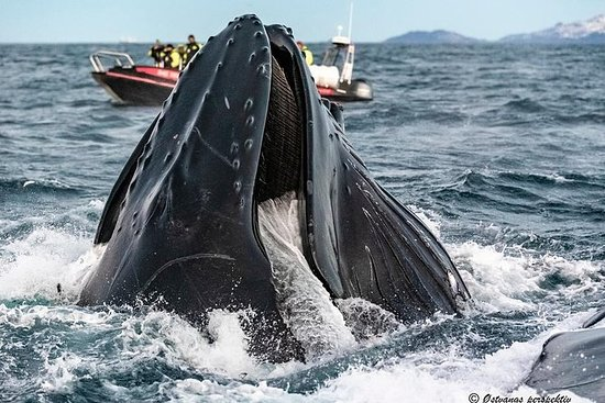 Whale Watching Rib Tour