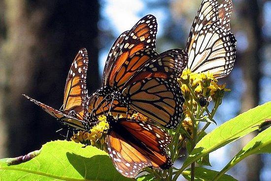 墨西哥:帝王蝶保护区和Angangueo私人游览