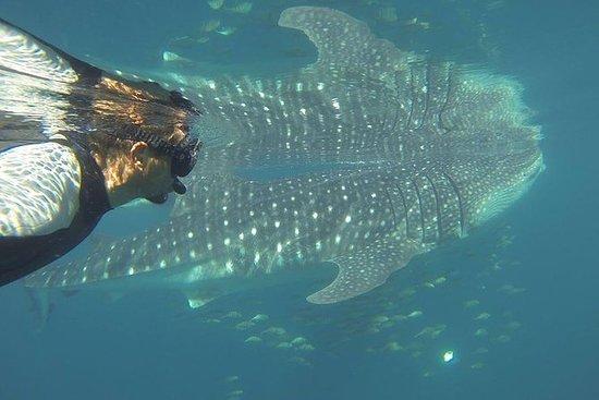 Whale Shark Encounter (La Paz)