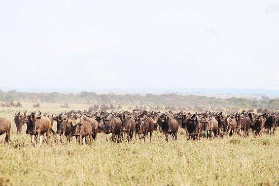 9-dages Serengeti Migration fodspor...