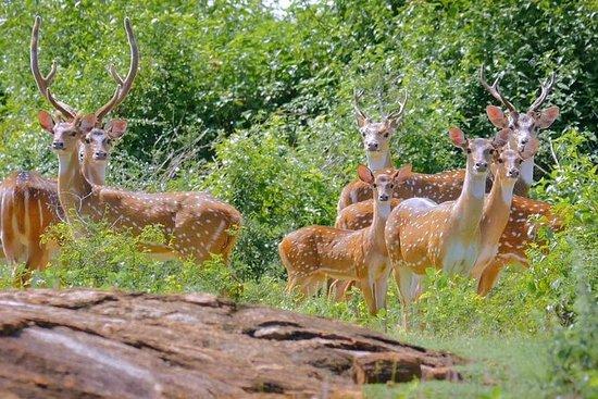 Safari en el Parque Nacional Yala desde...