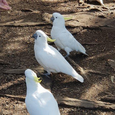 Великая океанская дорога, Австралия: Cacatua parrot along the great ocean road, a lot... everywhere! 😊 🇦🇺🇦🇺🇦🇺🇦🇺