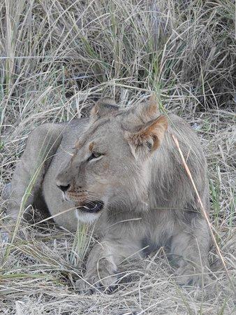same lion