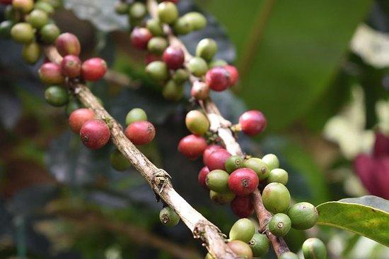 Hele dagen i Minca - Organic Coffee...