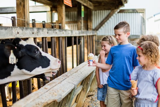 Mount Crawford, VA: Kids love checking out the cows and the cows love having their heads scratched!