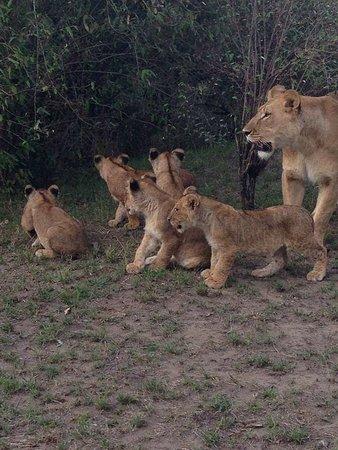 Mama simba a cubs