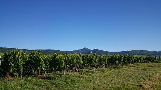 """Vigneti a Zellenberg  un piccolo borgo d'Alsazia sulla """"Route des Vins"""" tra Riquewihr e Ribeauvillé"""