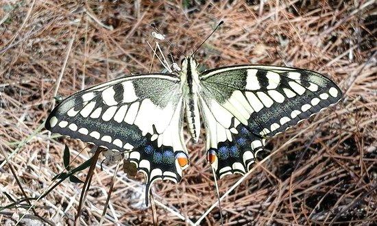 SPLENDIDO E GROSSO ESEMPLARE DI MACAONE (Papilio Machaon) FOTOGRAFATO NEL PERIODO ESTIVO NELLA PINETA DI PLATAMONA-SORSO-SARDEGNA-FOTO MAURO PORTO TORRES-