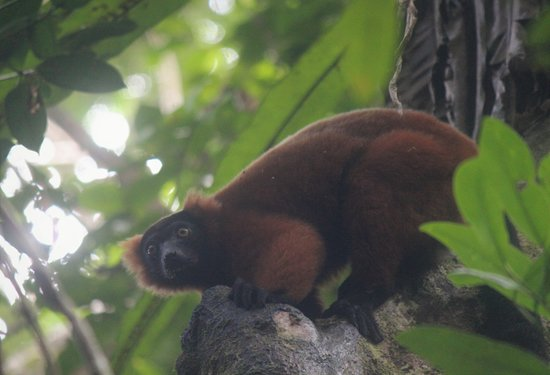 Tampolo, Madagascar: The Red-ruffed lemurs are the highlight during excursion to primary forest. I loved them so much I went 3 times and had 8 different sightings seeing 11 different individual RR lemurs, plus tons of other wildlife including the White-fronted brown lemurs.