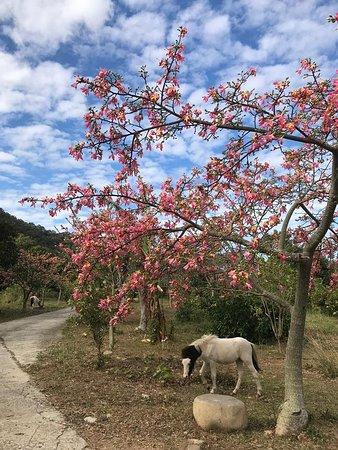 現在是美人樹盛開的季節!超級美的!美人樹叫美人花又稱日本櫻花。大家快來樹下當美人吧😂