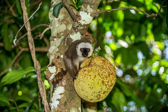 Tampolo, Madagascar: White fronted brown lemur