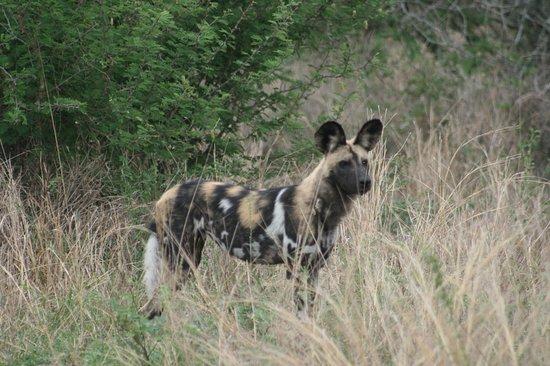 African Wild dog!