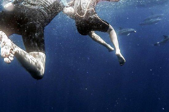 Azorene svømmer med Dolphins...