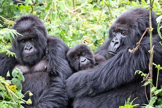 3 días de experiencia en el gorila del parque forestal impenetrable de Bwindi: Bwindi Impenetrable Forest Park Gorilla Experience