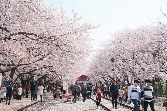 Jinhae Cherry Blossom Harbour Day ...