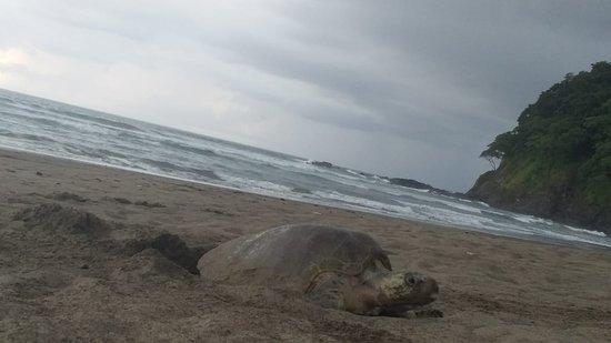 Corozalito, Costa Rica: Nada mejor que encontrar unas tortugas anidando al llegar a la playa, que hermoso espectáculo de la madre Tierra.