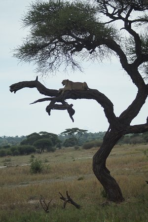 A lioness in the tree