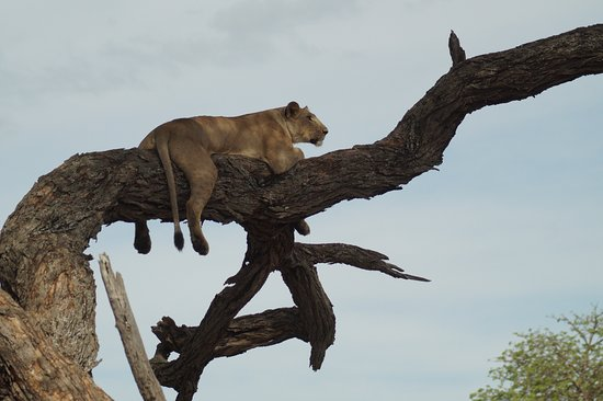 Tarangire National Park, Tanzania: A lioness in leopard pose