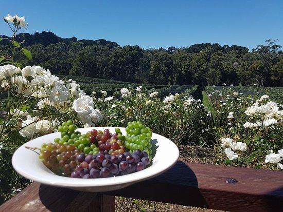 Shoreham, Úc: The vineyard