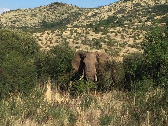 Grazing elephant
