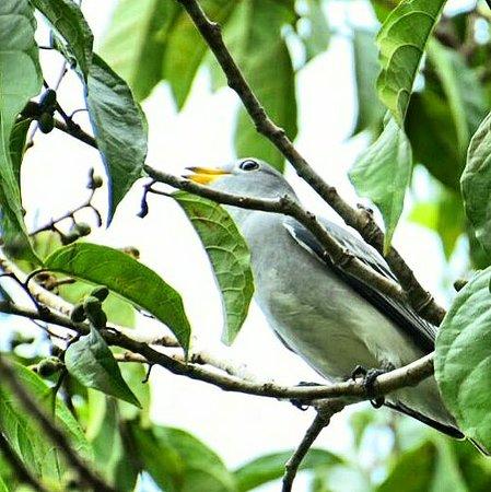 Osa Peninsula, Costa Rica: Yellow-billed Cotinga