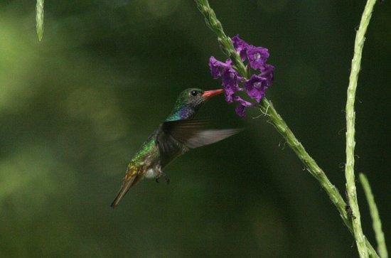 Osa Peninsula, Costa Rica: AVES DE LA PENÍNSULA DE OSA Blue-throated Golden-tailed