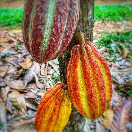 beautiful Cacao pods in different stage of ripeness