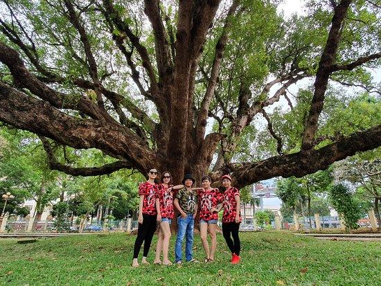 Camphor tree