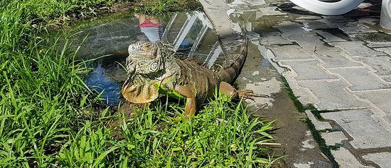 Us Americans have squirrels running around, Mexico has iguanas. Saw 5 iguanas during our 4 days stay near the pool.
