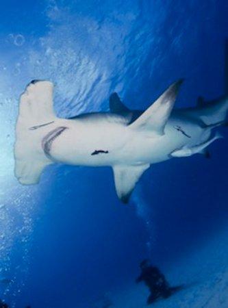 Great Hammerhead Shark in Bimini Photo by Paula Herman