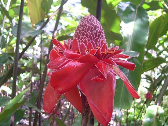 Souvenirs de Martinique --- Rose de Porcelaine