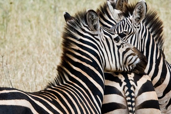 5 Day Tanzania Scenic Luxury Tour: I came to notice zebra the look the same but the colors are different.