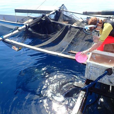 Feeding the whaleshark with puri fish #kwatisorenabirepapua