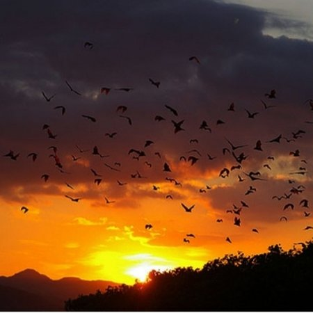 Flying foxes In kalong island