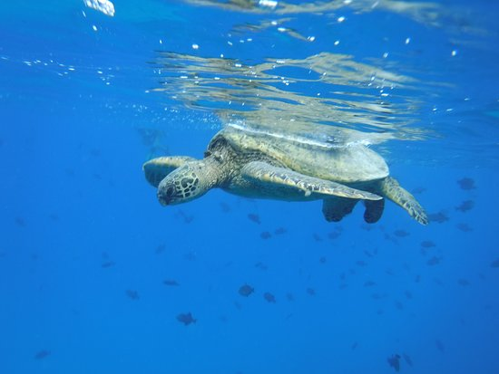 Snorkeling Cruise & Swim with Turtles in Oahu: Swimming close to a turtle as it came to the surface to take a breath.